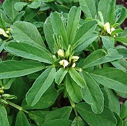 Boswellia Plus